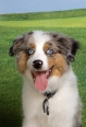Miniature Australian Shepherd, 7 months, Bi color